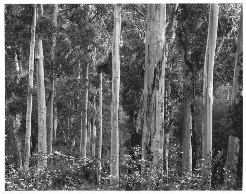 Boorara Karri Forest, Before Logging, Australia, black and white landscapeForest Landscape 2000 - © John Austin