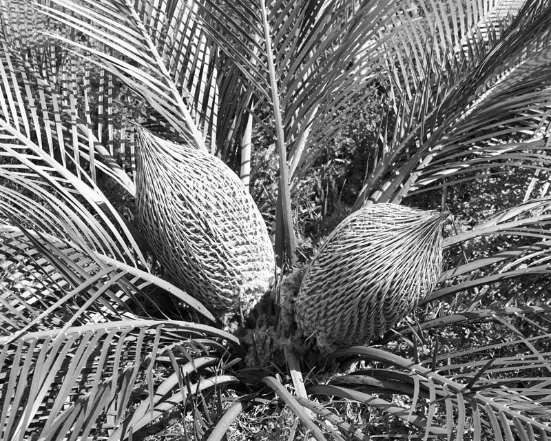 Fruiting Zamia, Quinninup, Macrozamia riedlei, Australian Forest, black and white landscape - © John Austin