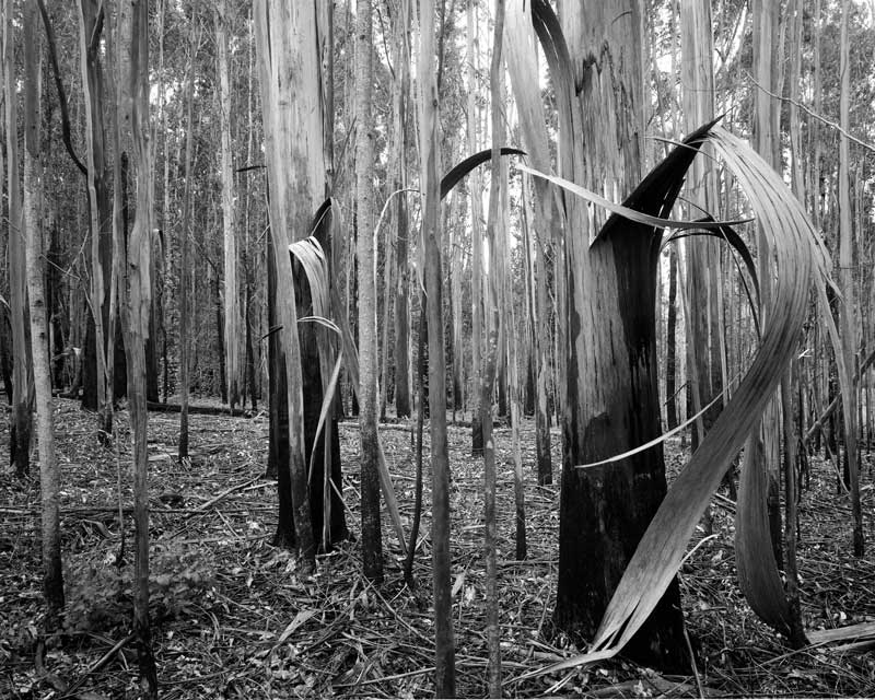 Burnt Regen', Karri Forest Quinninup Brook, Australia, black and white landscape - © John Austin