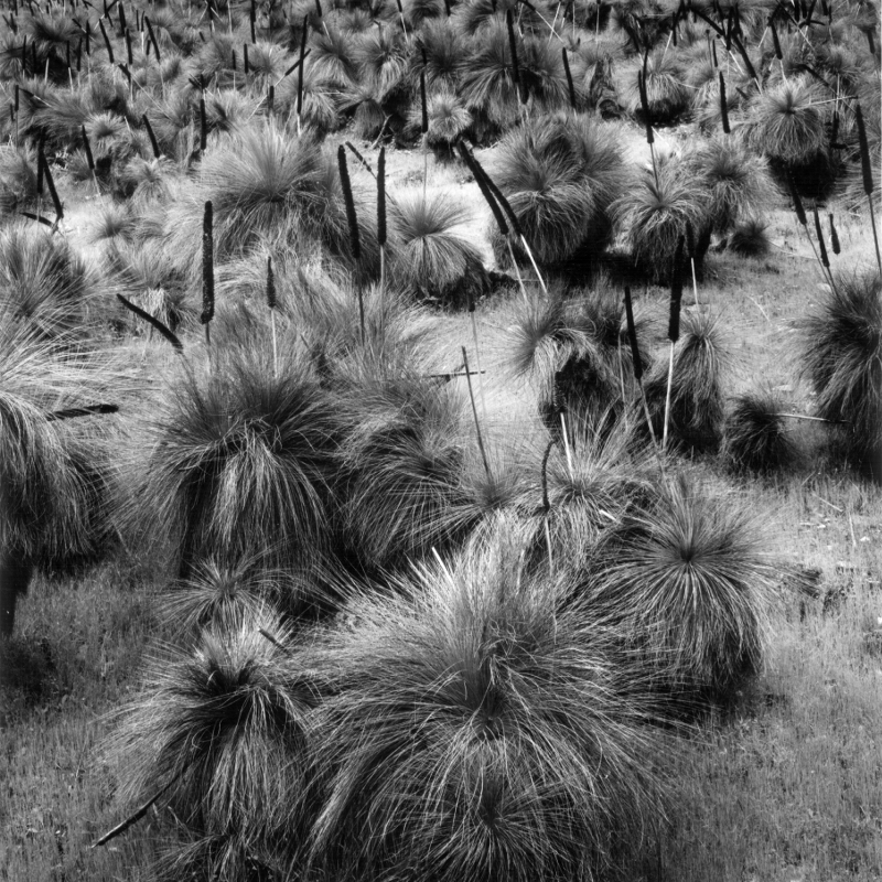 Xanthorrhoea Flinders Ranges South Australia 1983 - © John Austin