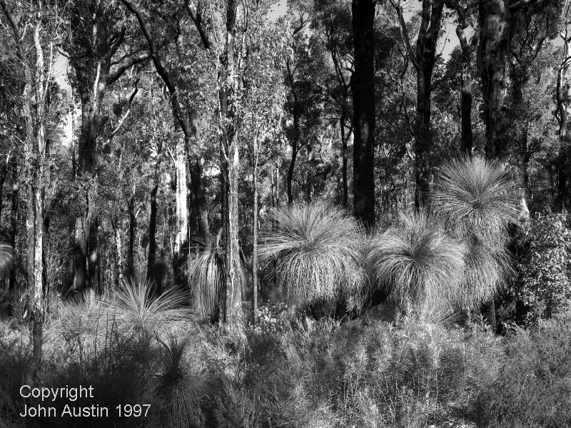 Xanthorrhoea, in Karri and Marri Forest Giblett State Forest 1997 - © John Austin