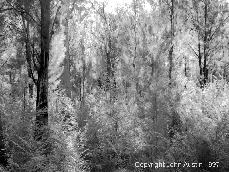 Casuarina, in Karri Forest, Wattle State Forest, backlit, 1997 - © John Austin