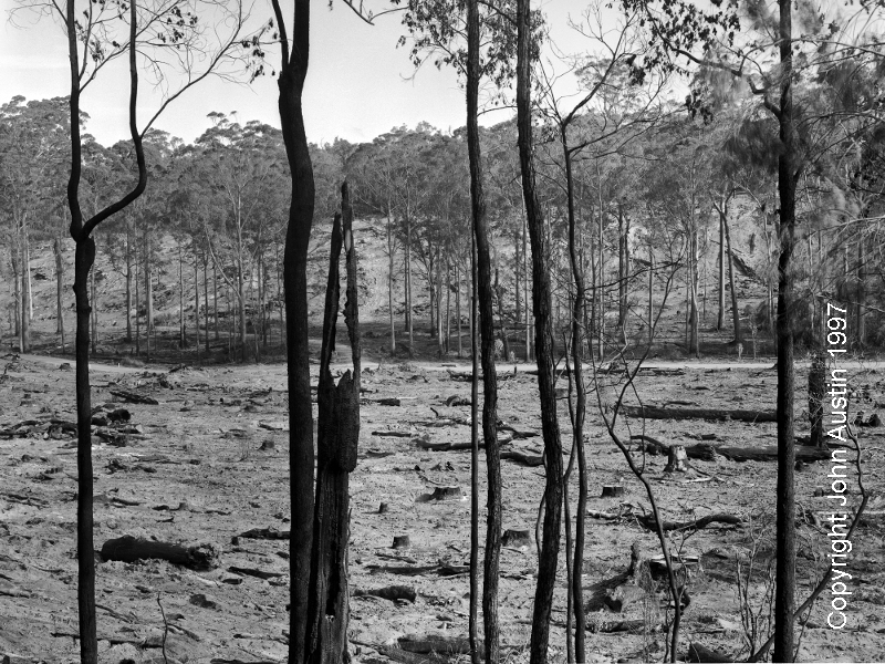 Sutton State Forest after clearfelling and burning, 1997 - © John Austin