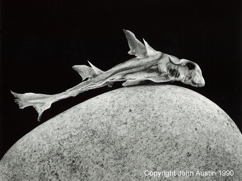 Port Jackson Shark, Fremantle 1990 - © John Austin